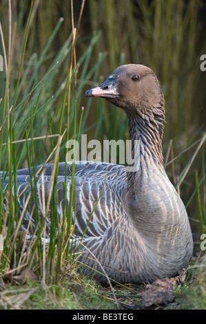 Bean Goose (Anser fabalis) Martin Mere Wildfowl and Wetlands Trust Burscough Lancashire England UK Europe March - Stock Photo