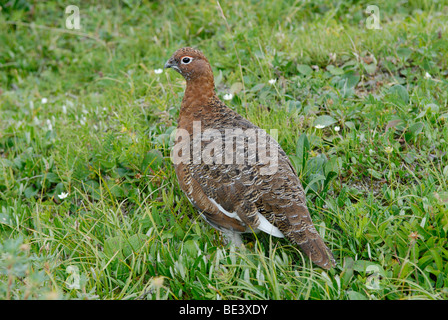 Willow ptarmigan (willow grouse), Lagopus lagopus, male in summer breeding plumage, in tundra, Denali National Park, - Stock Photo