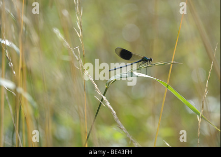 A  Calopteryx splendens - Banded Demoiselle ( Damselfly ) basks in the early morning sun near a running stream in - Stock Photo