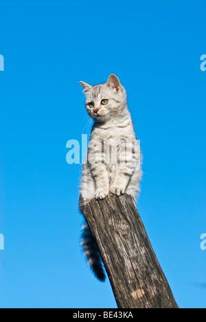 Domestic cat, 14 weeks, sitting on pole - Stock Photo