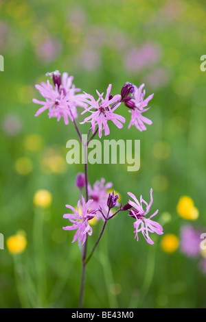 Ragged Robin Lychnis flos-cuculi in flower growing in a wildflower meadow in summer. England UK Britain - Stock Photo