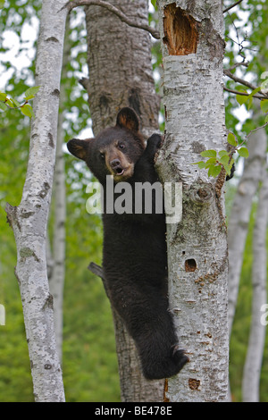 American Black Bear (Ursus americanus). Four month old cub climbing a tree to be secure - Stock Photo
