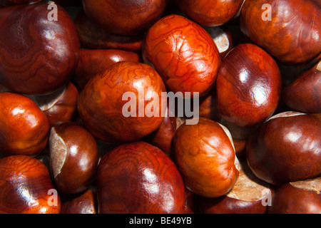 Conkers or Horse-chestnut Aesculus hippocastanum seeds UK autumn - Stock Photo