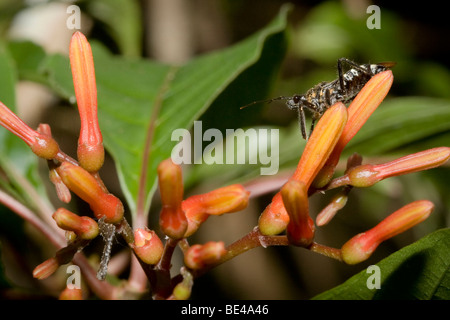 Tropical assassin bug, order Hemiptera family Reduviidae, perched on a flower. Photographed in Costa Rica. - Stock Photo