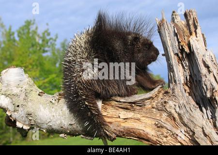 New World Porcupine, North American Porcupine (Erethizon dorsatum) on a dead tree. - Stock Photo