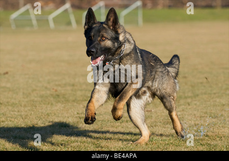 German Shepherd Dog, male, running - Stock Photo