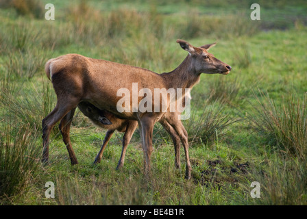 Red Deers (Cervus elaphus), female with suckling young, enclosure - Stock Photo