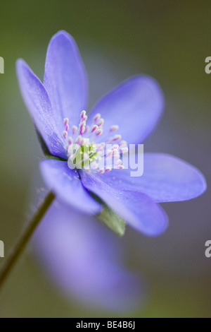 Three-lobed Kidneywort or Common Hepatica (Hepatica nobilis) - Stock Photo