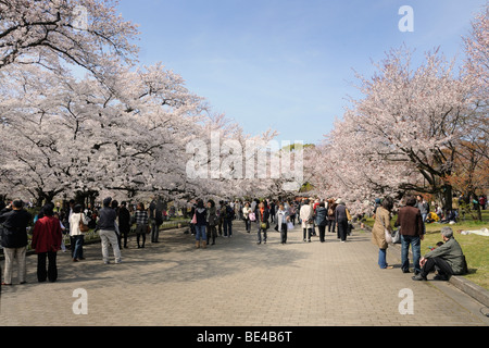 Famous cherry bloom, cherry blossom festival in the botanical garden in Kyoto, Japan, Asia - Stock Photo