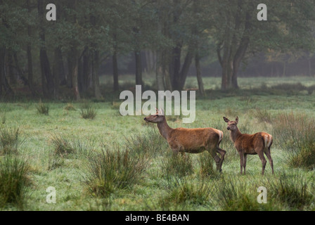 Red Deers (Cervus elaphus), female with young, enclosure - Stock Photo