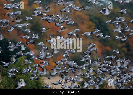 Wood Pigeon (Columba palumbus), flock in flight. - Stock Photo
