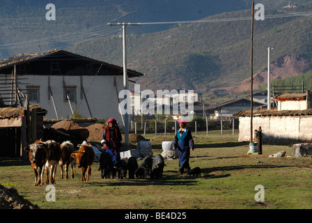 Tibetan women in front of Eastern Tibetan farmhouses herding black pigs, cattle and yaks to pasture near Shangri - Stock Photo