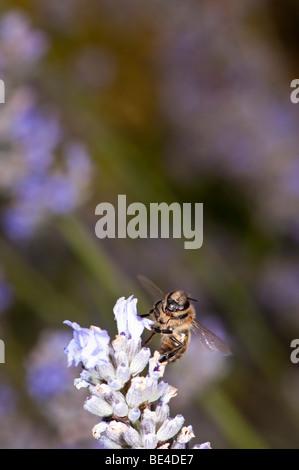 Honey Bee Apis melifera feeding on Lavender - Stock Photo