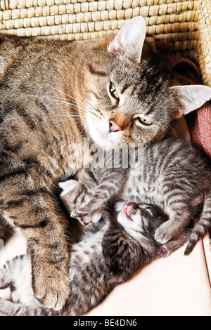 Cat with kittens, 5 days old - Stock Photo