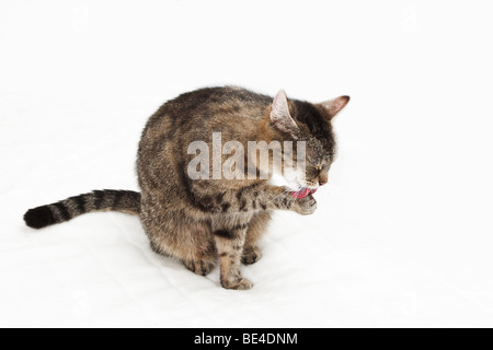 Domestic cat cleaning itself - Stock Photo