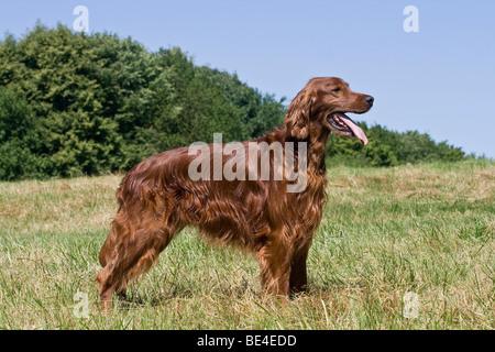 Irish Setter, dog, standing on a lawn, sideways - Stock Photo