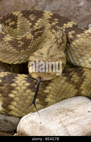 Black-tailed Rattlesnake (Crotalus molossus) - Chiricahua Mountains -Arizona - 'Smelling' or 'tasting' the air with - Stock Photo