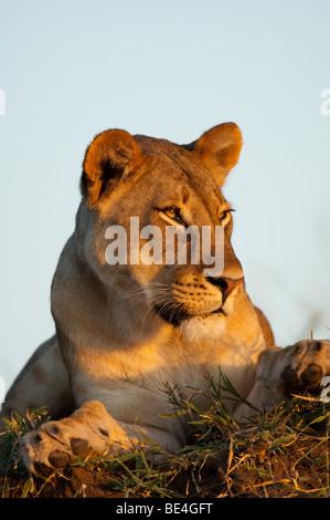 Lion (Panthero leo), Tuli Block, Botswana - Stock Photo