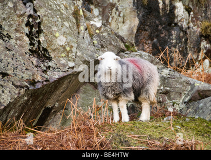 Sheep, Cumbria, UK - Stock Photo