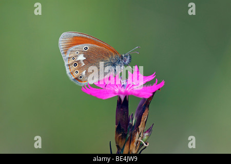 Chestnut Heath butterfly (Coenonympha glycerion) on a flowering Carthusian Pink (Dianthus carthusianorum) - Stock Photo