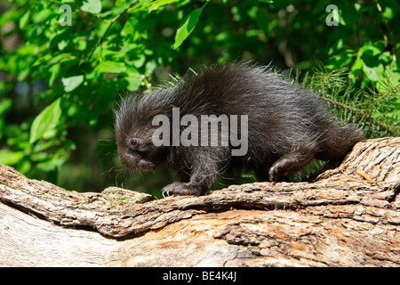 New World Porcupine, North American Porcupine (Erethizon dorsatum). Youngster on a decaying log. - Stock Photo