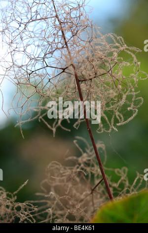 Smoke Bush Cotinus Coggygria Summer to Autumn Season Change - fine art photography Jane-Ann Butler Photography JABP590 - Stock Photo