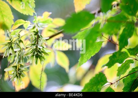 Vine Leaved Maple Acer Cissifolium Summer to Autumn Season Change - fine art photography Jane-Ann Butler Photography - Stock Photo