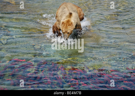 Brown bear (grizzly bear), Ursus arctos horribilis, lunging for sockeye salmon, Katmai National Park and Preserve - Stock Photo