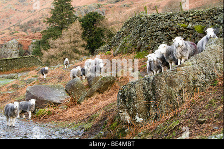 Flock of sheep, Cumbria, UK - Stock Photo