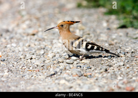 Hoopoe (Upupa epops), on a path, Burgenland, Austria, Europe - Stock Photo