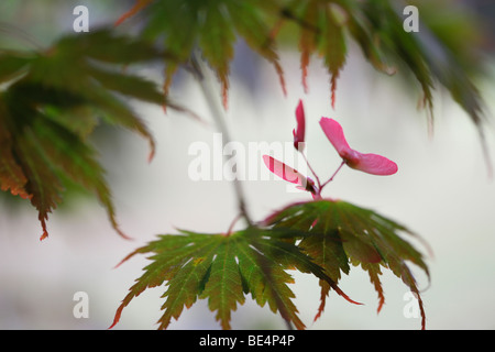 Acer Palmatum Seiryu Tree Summer to Autumn Season-fine art photography Jane-Ann Butler Photography JABP598 - Stock Photo