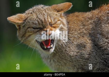 European Wildcat (Felis silvestris), snarling. - Stock Photo