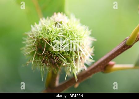 Henry's Chestnut Castanea Henryi Summer to Autumn - fine art photography Jane-Ann Butler Photography JABP593 - Stock Photo