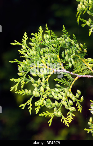 Eastern Arborvitae, Northern Whitecedar (Thuja occidentalis) branch with foliage and cones, evergreen coniferous - Stock Photo