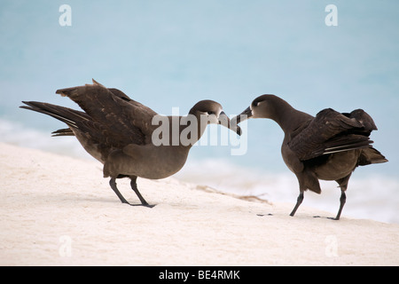 Black-footed Albatross pair courting, Midway Atoll (Phoebastria nigripes) - Stock Photo
