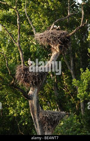 White Storks (Ciconia ciconia), stork nests, March River floodlands, Marchegg, Lower Austria, Austria, Europe - Stock Photo