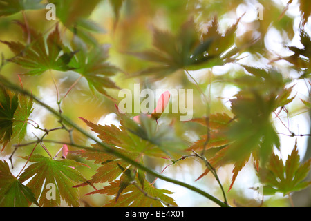 Acer Palmatum Masu Kagami Tree Summer to Autumn Season Change - fine art photography Jane-Ann Butler Photography - Stock Photo