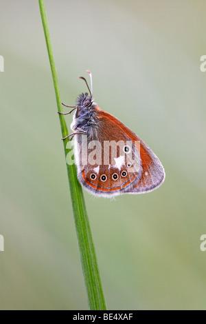 Chestnut Heath butterfly (Coenonympha glycerion) - Stock Photo