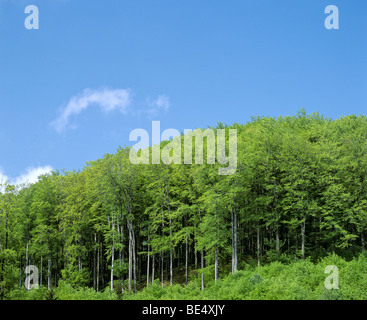 Beech forest (Fagus), spring, Germany, Europe - Stock Photo