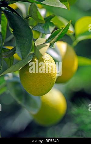 Oranges (Citrus sinensis) on an orange tree - Stock Photo