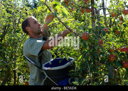 East European workers Harvesting English Cox apples in Orchard Kent England - Stock Photo