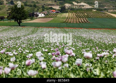 Field of Opium Poppies (Papaver somniferum), Haugsdorf, Weinviertel, Lower Austria, Austria, Europe - Stock Photo