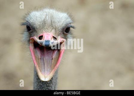 African Ostrich (Struthio camelus), portrait - Stock Photo