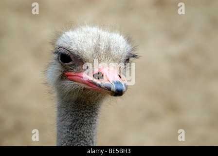 African Ostrich (Struthio camelus), portrait - Stock Photo