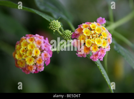Spanish Flag, Lantana camara, Verbenaceae, Tropical Central and South America - Stock Photo