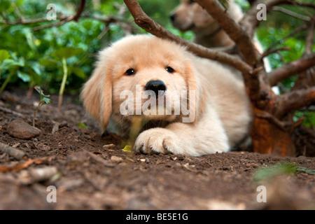 Eight week old Golden Retriever puppy laying in a garden. - Stock Photo