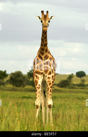 Giraffe (Giraffa camelopardalis) in Kidepo Valley National Park in northern Uganda. - Stock Photo