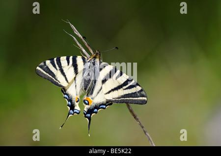 Scarce Swallowtail (Iphiclides podalirius)