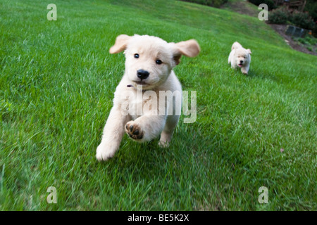 Eight week old Golden Retriever puppies running on the grass. - Stock Photo