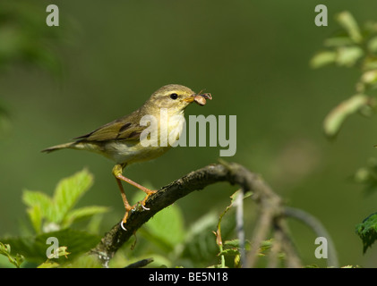 Willow Warbler (Phylloscopus trochilus) with prey - Stock Photo